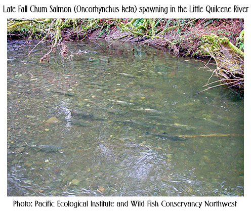 Chum Salmon spawning in Little Quilcene River